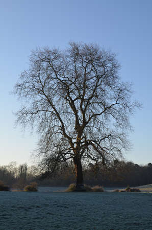 Frost covered tree in the English countryside.