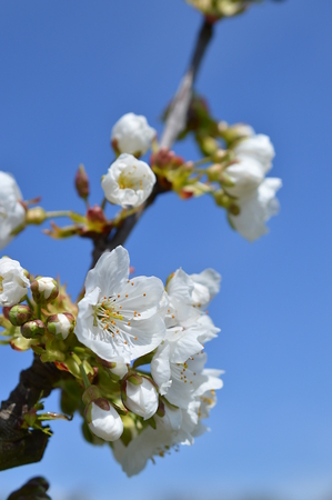 is cloudless: white blooming cherry tree in front of bright blue cloudless sky