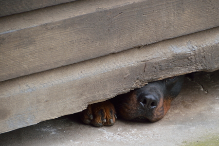 observant: curious dog sneaking his nose under a wooden fence