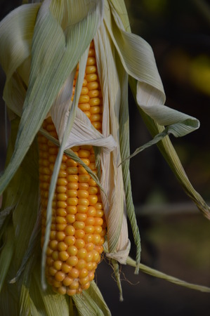 Harvested corncob hanging outside for drying or decoration
