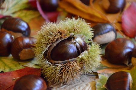 Castagne su foglie di autunno multicolore Archivio Fotografico - 87748333