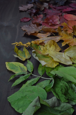 colorful autumn leaves in color gradient from green over yellow and orange to dark red and brown on brown wood Imagens