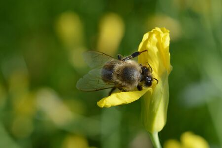 carnica honey bee pollinating a yellow flower and collecting nectar for honey in springtime