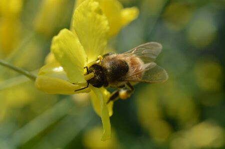buckfast honey bee close up collecting nectar and pollen in a yellow flower with lots of pollen in her basket at her legs