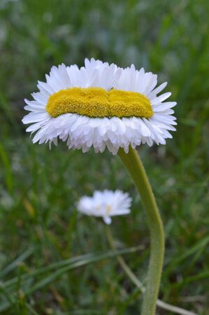 Extraordinary unique odd strange daisy quintuple as wide as normal on green grass outdoors in springtime as sign for the variety in creation Standard-Bild