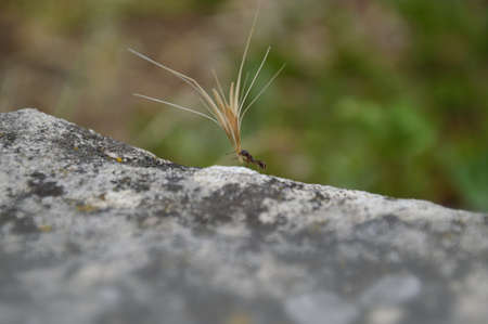 ant carrying an overlarge grain