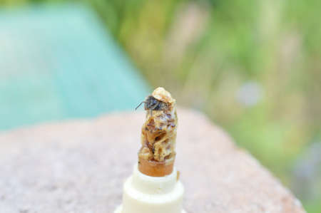 hatching bee queen cutting of the lid from queen cell with copy space around Imagens