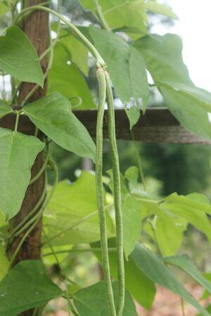 long bean: Organic  long Bean