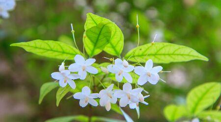 jessamine: Fiore Bianco Arancio