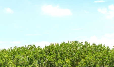 mangrove forest and blue sky photo