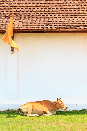 ing: Cow sit on grass near wall at Ing Hang Stupa in Savannakhet, Laos