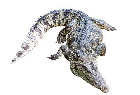 crocodile isolate on white background