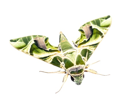 deilephila: Oleander Hawk-moth isolate
