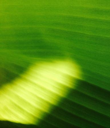 banana leaf: Hoja de pl?tano textura de fondo