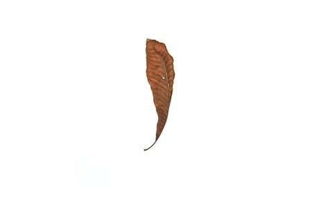 dry leaf: Dry leaf on white background