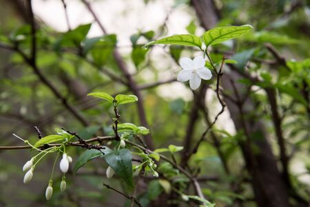 jessamine: fiore Orang Jessamine in giardino Archivio Fotografico