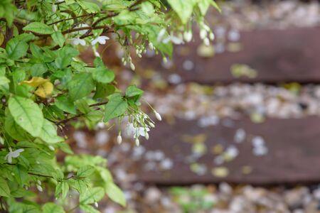 jessamine: Orang Jessamine flower in garden