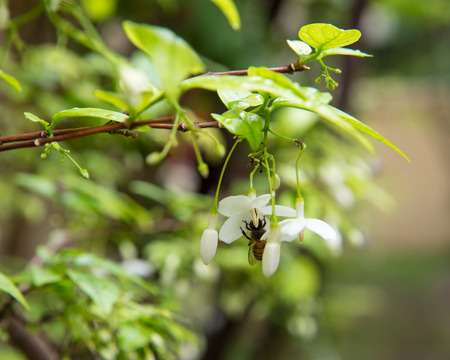 jessamine: Orang Jessamine flower with bee Stock Photo