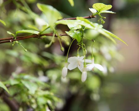 jessamine: fiore Orang Jessamine