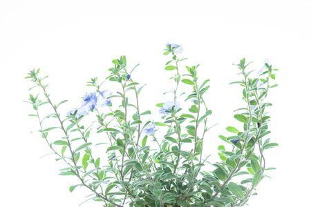 grüne Pflanze mit violetten Blüten auf weißem Hintergrund