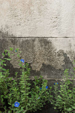 cement wall: Blue flower and grunge cement wall