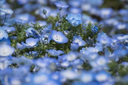 many babies: Carpet of Nemophila, or baby blue eyes flower