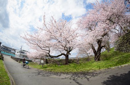 Yamagata - April 15:The old man riding a bicycle at Kajo Park which is Yamagata Castle ruinFamous spot of Yamagata-shi first-rate cherry tree where approximately 1,500 cherry trees are in full glory in April 15,2015