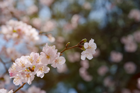 Close up cherry blossom tree in park at Yamagata , Japan with sun light for background