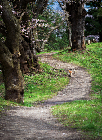 A cat walk in park in spring season at yamagata ,Japan Stock Photo