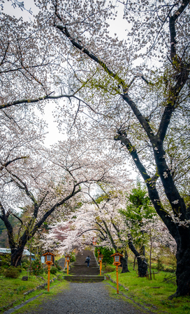 Pathway of Cherry blossoms  to the chureito pagoda