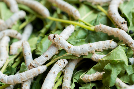 rearing: Silkworm rearing farm fed mulberry leaves, and have a lot in life history.