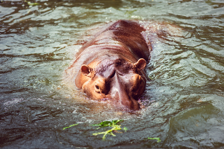 originated: Hippopotamus, animals, mammals and herbivorous. Originated in Africa Stock Photo