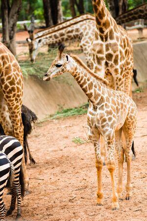 giraffa camelopardalis reticulata: Closeup giraffe children to walk to find food to the masses.
