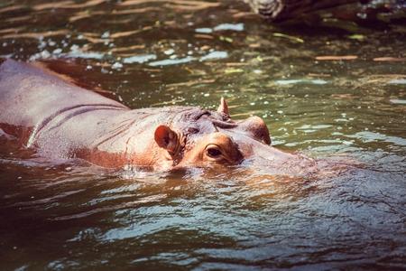 herbivorous animals: Hippopotamus, animals, mammals and herbivorous. Originated in Africa Stock Photo