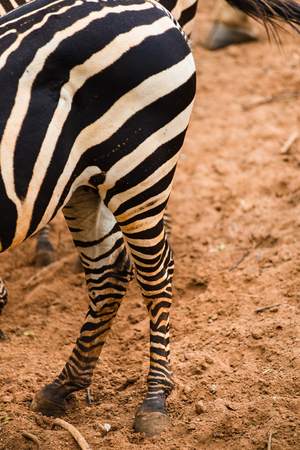 mammal: Zebra mammal Playing in the ground. Stock Photo
