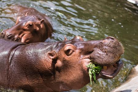 incisor: Pygmy hippopotamus, animals, mammals and herbivorous.Originated in Africa