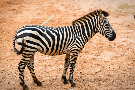 Zebra mammal Playing in the ground. Stock Photo
