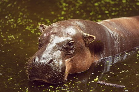 pygmy: Pygmy hippopotamus, animals, mammals and herbivorous.Originated in Africa