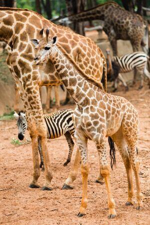 Closeup giraffe children to walk to find food to the masses.