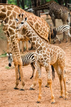 camelopardalis reticulata: Closeup giraffe children to walk to find food to the masses.