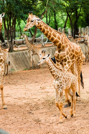 reticulated: Closeup giraffe children to walk to find food to the masses.