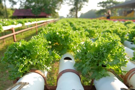 Organic hydroponic vegetable farm ,healthy vegetable, hydroponic concept,agricultural industry concept.