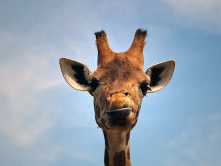 Giraffe with a funny expression eating something  against a blue sky  photo