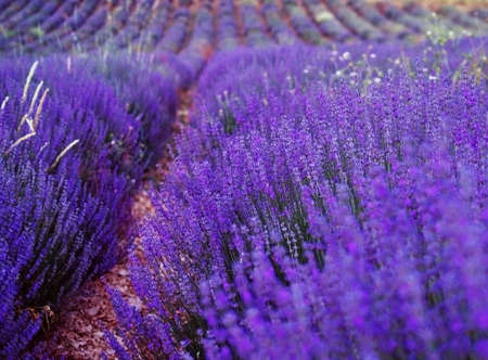 Lavender cultivated field in Provence, France photo