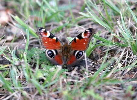 peacock butterfly: Peacock mariposa en la hierba Foto de archivo