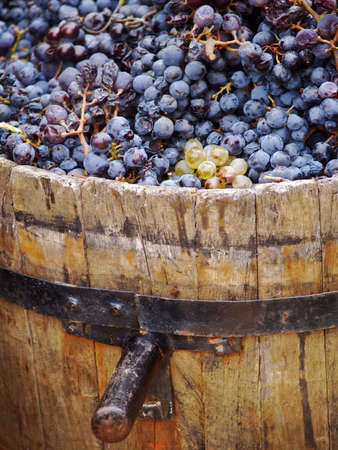 Harvesting grapes  Close-up of grapes inside a bucket