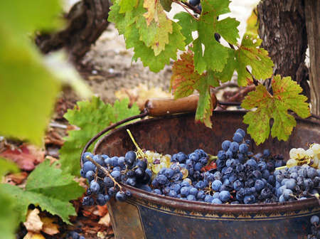 grape harvest: Harvesting grapes. Close-up of grapes inside a bucket. France