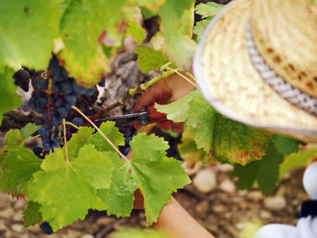 Young boy harvesting the blue grape, in the autumn sun, during the fete de Vendange in France