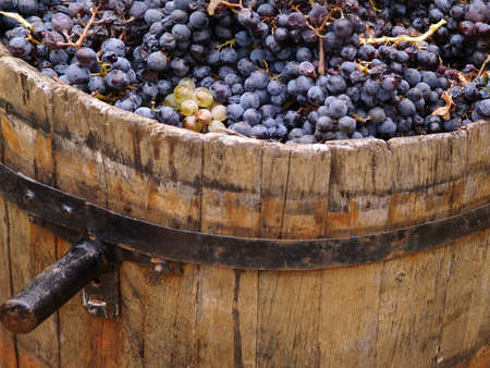 Harvesting grapes. Close-up of grapes inside a bucket.