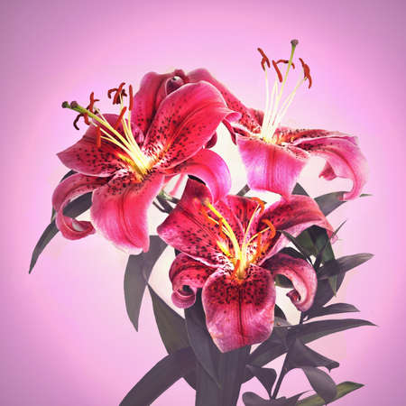 cut flowers: Beautiful pink tiger lily flower closeup isolated on a pink background Stock Photo